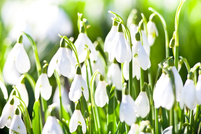 Snowdrops in flower, Galanthus nivalis