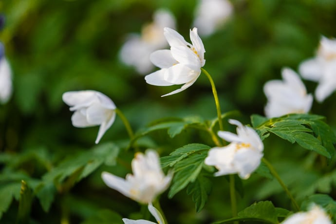 Wood anemone in spring woodland